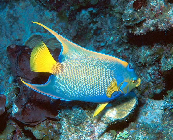 E reefnews vol 4 no 12 queen angelfish for Queen angel fish