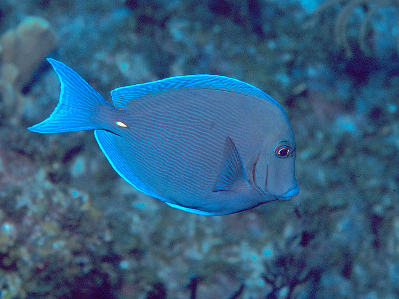 14 ocean quotes and 138 most amazing underwater photos for Blue tang fish facts