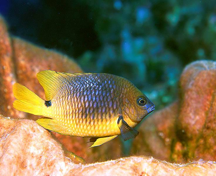 free online pics of animal damselfish posters