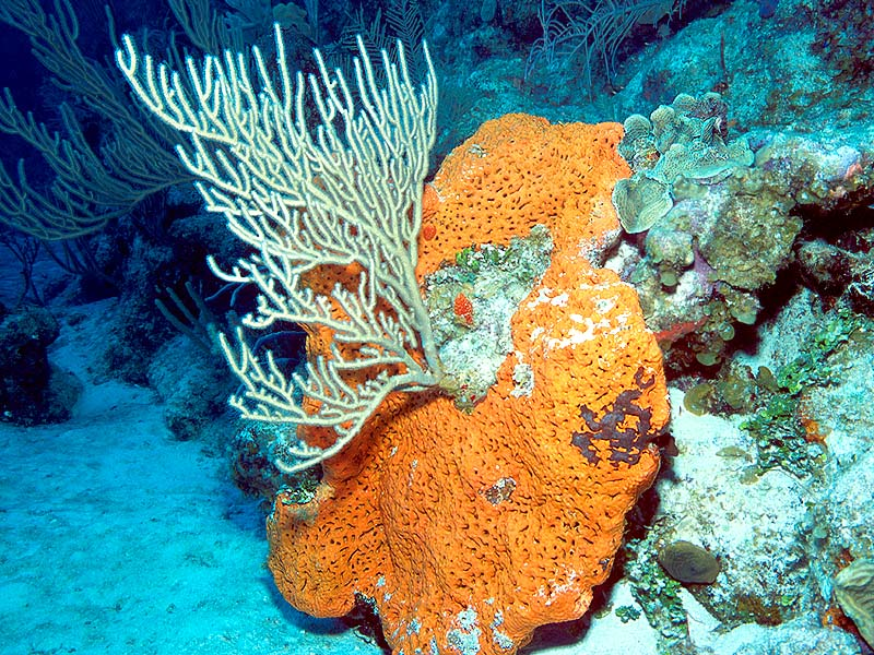 Image result for corals and sponges