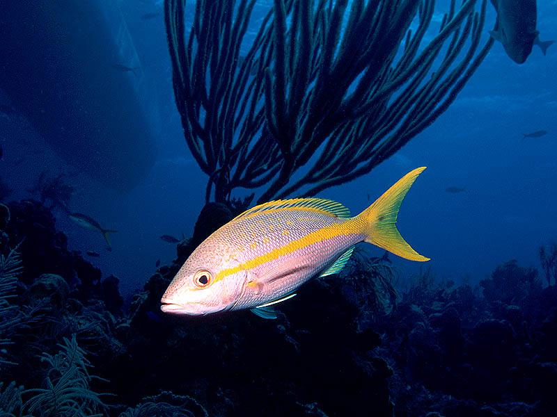 Nekton Fish Yellowtail Snapper Ambassador