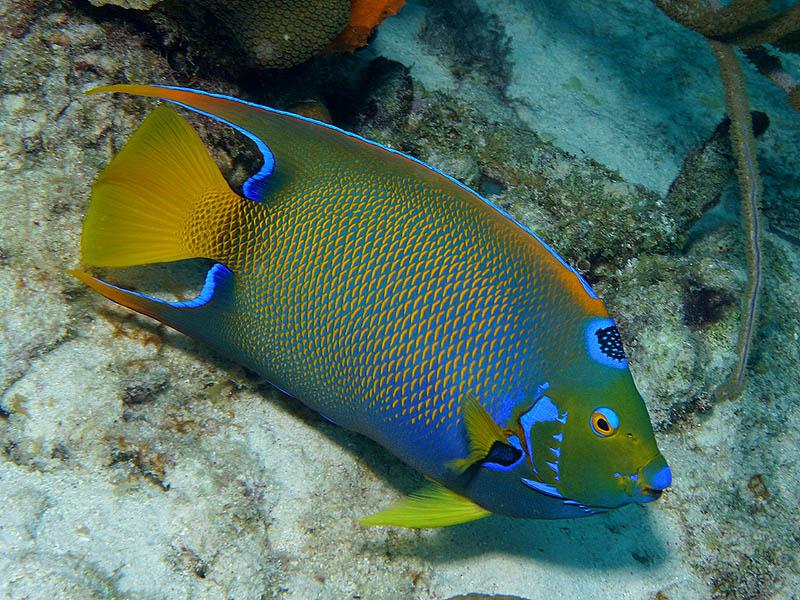 E reefnews vol 6 no 1 queen angelfish at barkadera for Queen angel fish