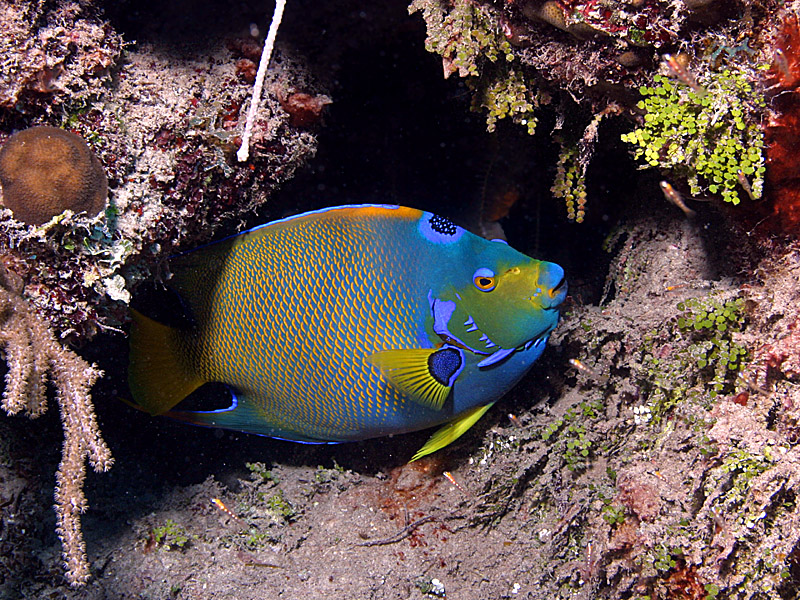 E reefnews vol 7 no 5 face to face with queen angelfish for Queen angel fish