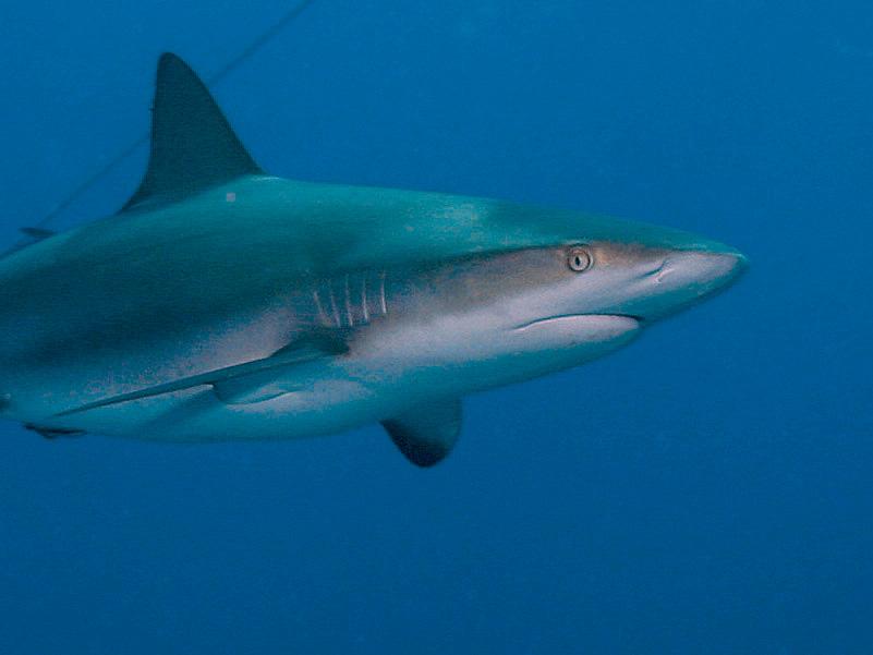 http://www.reefnews.com/reefnews/news/v07/v07n06/sharks03.jpg