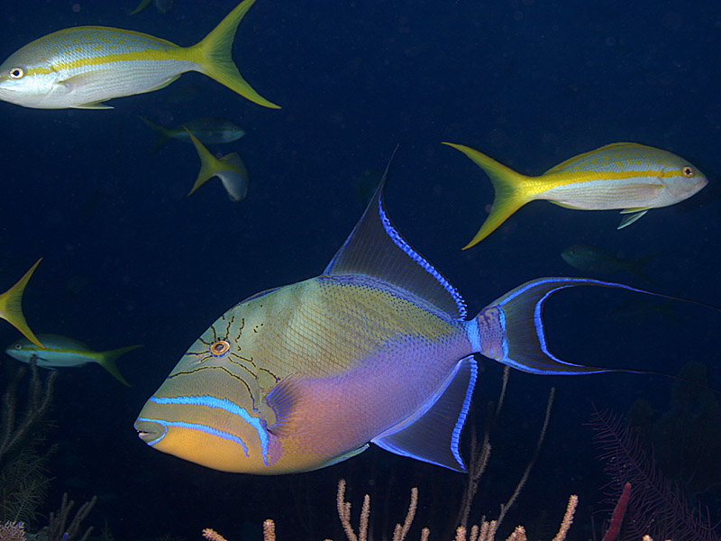 Queen Triggerfish Teeth Queen Triggerfish swimming