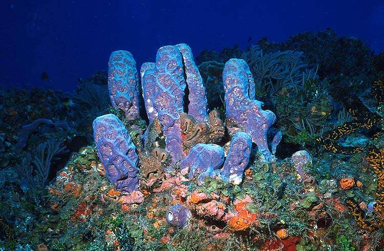 phylum porifera Disclaimer: the animal diversity web is an educational resource written largely by and for college studentsadw doesn't cover all species in the world, nor does it include all the latest.