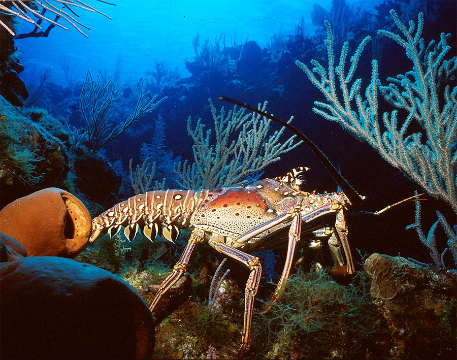 Shinny Caribbean: Caribbean Spiny Lobster At Lulu's Lookout Reef, Little Cayman